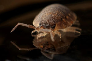 Bed Bugs In Hair Truth Or An Urban Myth Thepestkillers