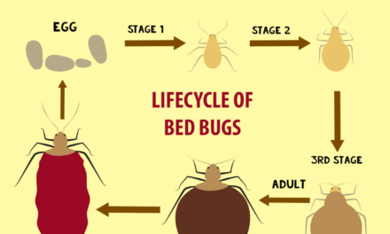 How to get rid of Bed Bugs – Infographic