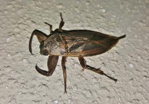 water bug side