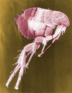 Image of flea microscopic