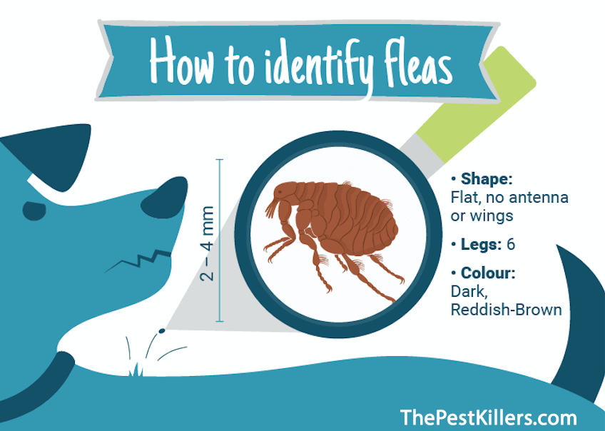 Image of how to identify fleas