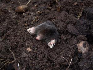 Burrow of moles