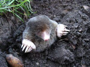 Mole in Soil