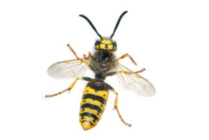 Female Wasp