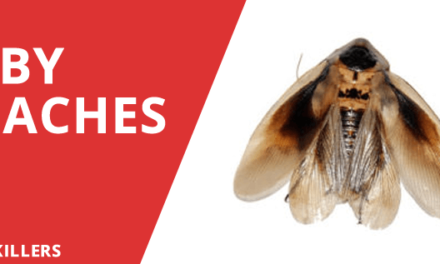 Baby Roaches – What you need to know