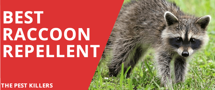 Best Raccoon Repellent – Top 5 Deterrent