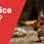 Can mice Climb – Prevent a Mice Infestation