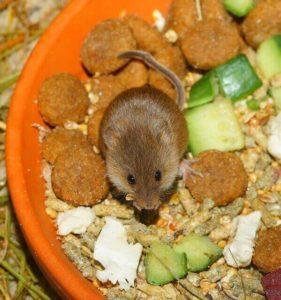 Mice diseases