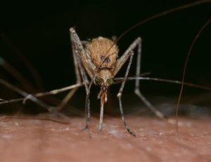 Gnat biting skin