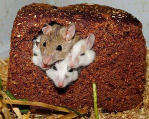 Mice hiding in food