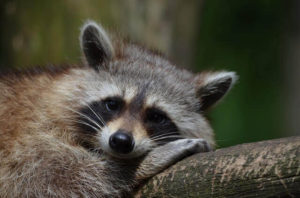 Raccoon Resting